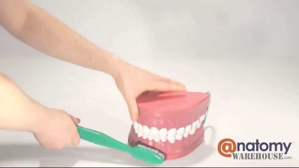 Giant Tooth Brushing Anatomy Model by AnatomyWarehouse.com